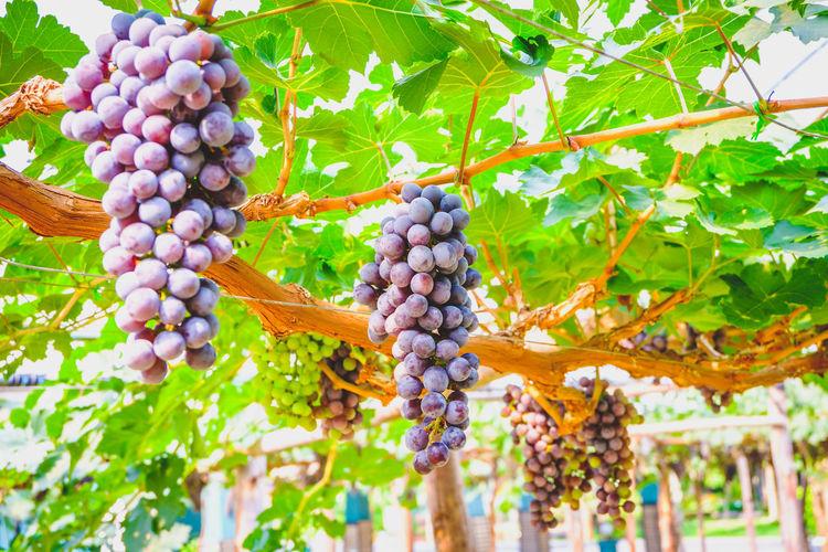 Fruits growing in vineyard