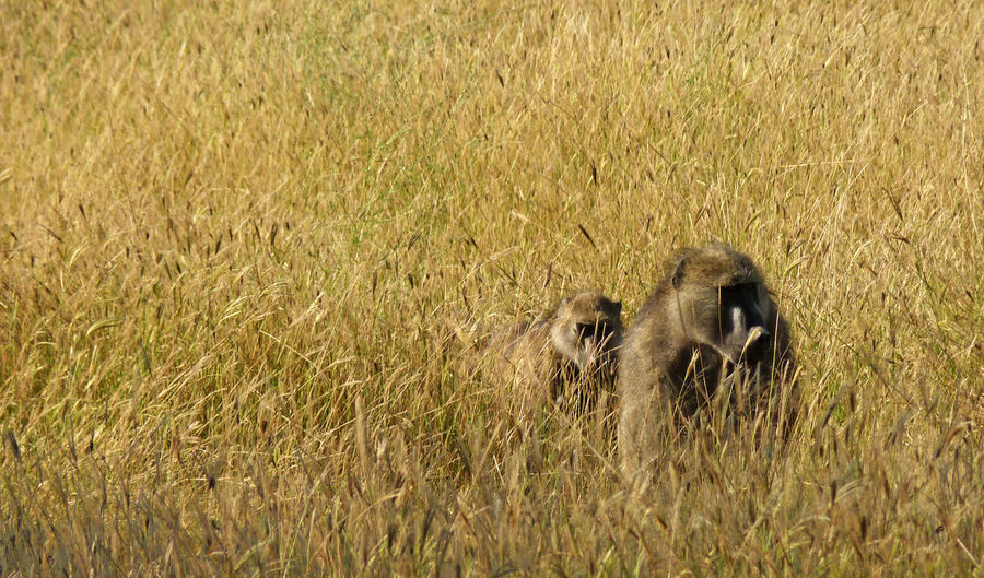 Baboons On Field