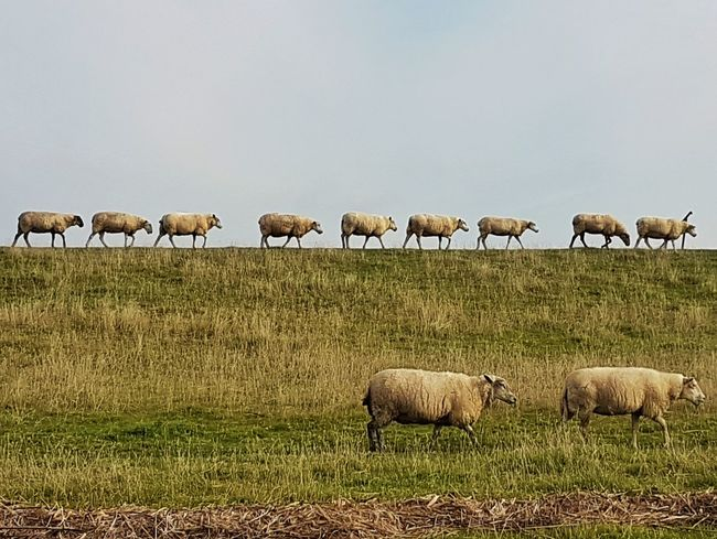 EyeEmNewHere typical landscape in Schleswig-Holstein, Germany Landscape Landscape_Collection landscape Nature photography Landscape Photography Landscape_captures Sheeps Mammal Sheep Herding Flock Of Sheep Herd Of Sheep Animal Photography Animal_collection Animal Behavior Animallovers Coastal Beauty Schleswig-Holstein/Germany Nature Animal Themes Rural Scene Perspectives On Nature