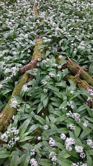 Märchenwald Zauberhaft Frühling Frühlingserwachen Frühlingsgefühle Springtime Forest Beauty Bärlauch  Bärlauchzeit Bärlauch Sammeln Bärlauch Ernten Zauberwald Zauberwald ;)