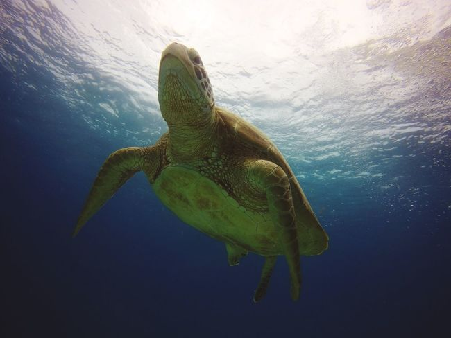 Green Sea Turtle at Balicasag Nature Photography Animals In The Wild Underwater Turtle Beauty In Nature Sea Life