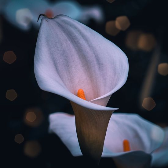 Calla lily flower plant