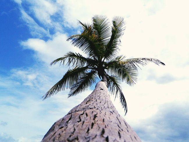 Trinidad & tobago Toco Coconut Trees