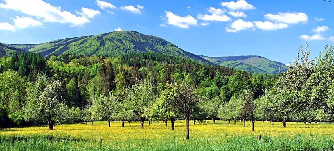 spring orchard with yellow flovers, Skalka hill on Ondrejnik mountain ridge above and blue sky with nice white clouds near Kunsice pod Ondrejnikem in Czech republic Czech Republic Kuncice Pod Ondrejnikem Ondrejnik Plants Tree Agriculture Blue Sky With Clouds Flower Grass Green Color Hill Landscape Mountain Mountains Nature Orchard Outdoors Scenics Season  Skalka Sky Springtime Tranquility