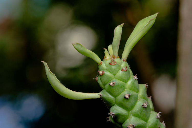 Green Color Growth Plant Close-up Focus On Foreground Succulent Plant No People Beauty In Nature Nature Day Cactus Beginnings Bud Thorn Outdoors Selective Focus Spiked New Life Plant Part Freshness Spiky Sepal