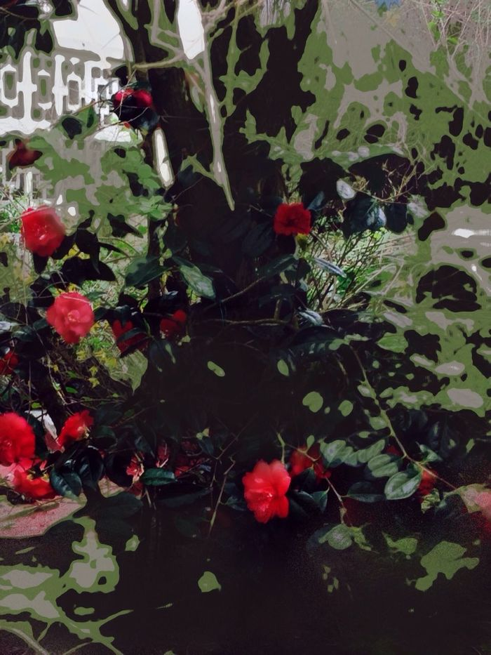 Camelias Red Flowers