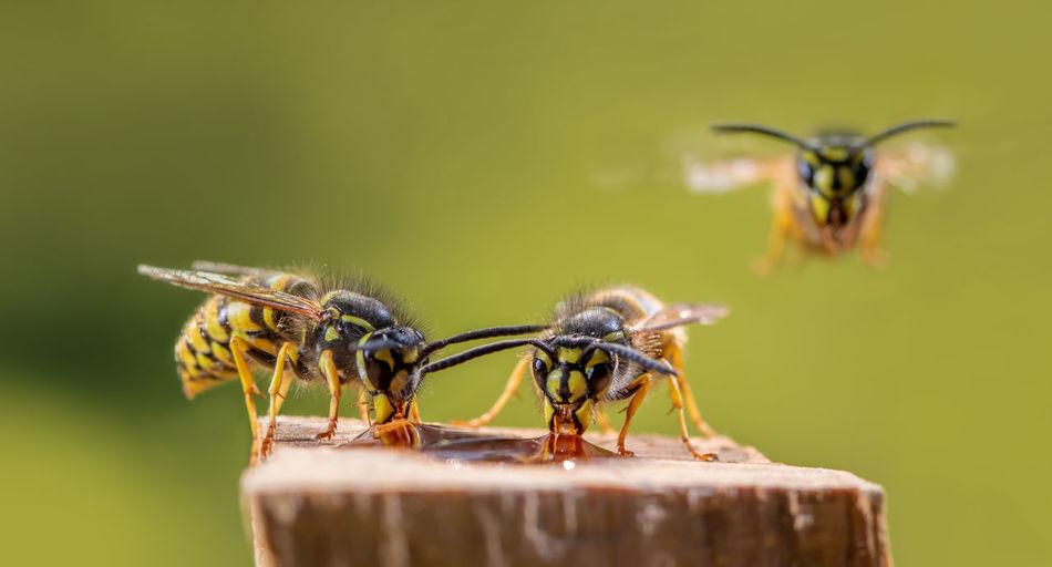 Several wasps