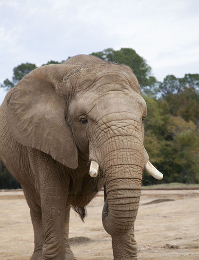 Close-up of elephant standing on field