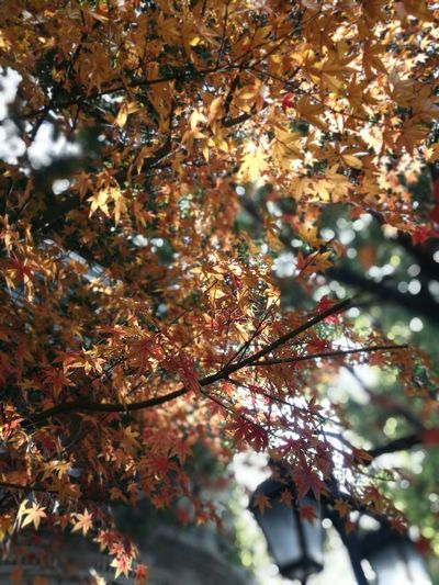 Morning Shanghai in fall Autumn Tree Leaf Branch Change Nature Beauty In Nature Outdoors Low Angle View Maple Tree Maple Leaf Backgrounds