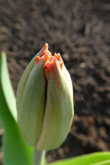 Flowering Plant Flower Beauty In Nature Vulnerability  Freshness Plant Close-up Growth Nature Focus On Foreground No People Day Outdoors Purist No Edit No Filter No Edit/no Filter Tulip