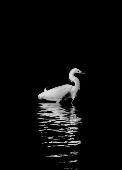 Bird in water against black background