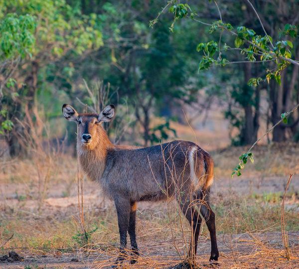 Portrait of waterbuck standing on field in forest