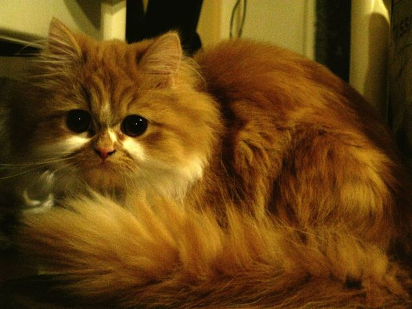 Persian Cat  Rote Vörös Feher Red White Cat Sitting Sitz Eyes Pets Looking At Camera Indoors  No People Portrait Day Sitting One Animal