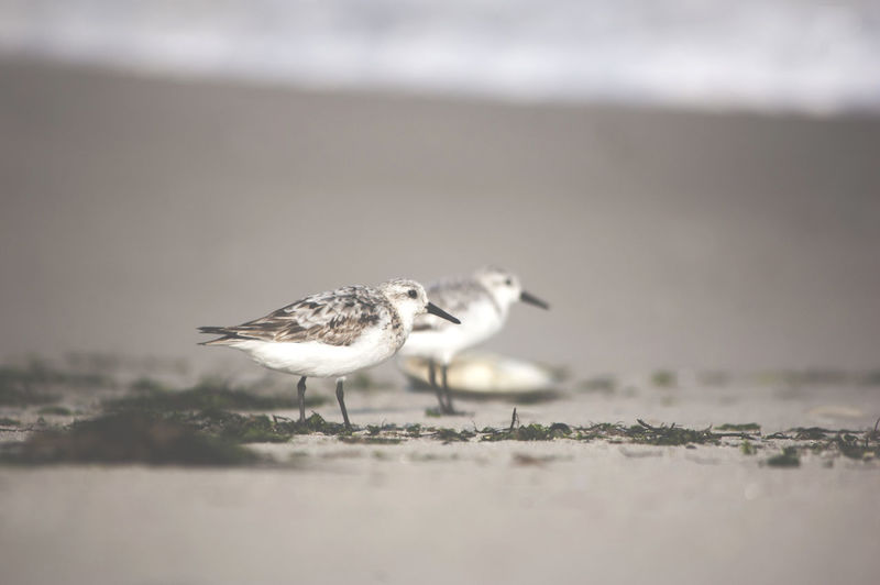 Bird Animal Animal Themes Animals In The Wild Vertebrate Animal Wildlife Selective Focus Day No People One Animal Nature Outdoors Land Side View Beach Sand Full Length Perching Seagull