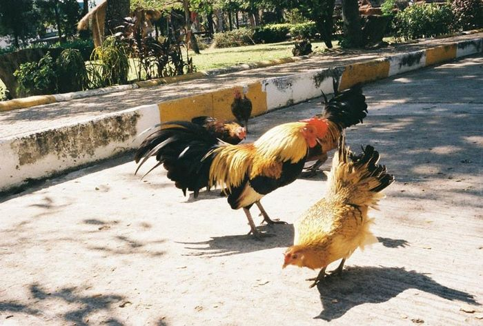 Chicken in the cities