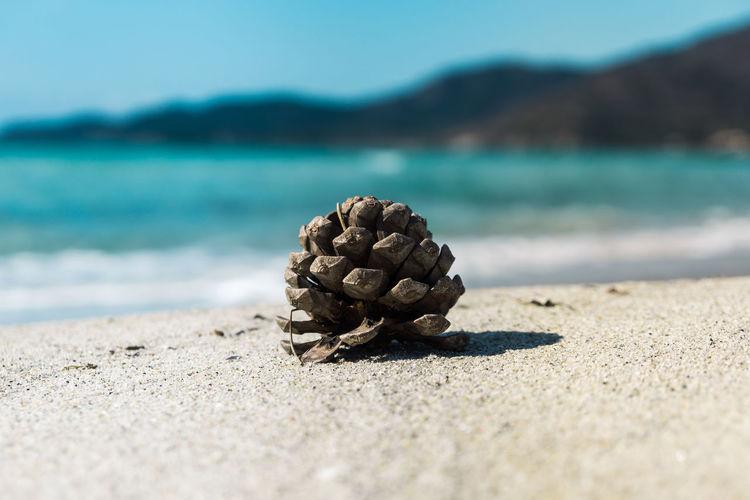 Pine cone at campulongu beach, villasimius, sardinia