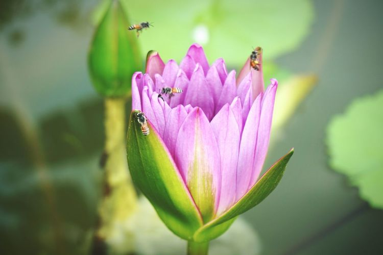 Lotus Water Lily Insect Flower Animal Wildlife Bee 🐝 Close-up Animals In The Wild Purple Lotus Garden Lotus Thai