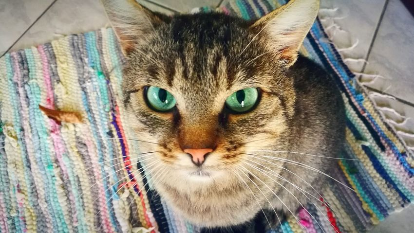 Domestic Cat Pets Animal Themes Domestic Animals Looking At Camera Portrait One Animal Mammal Cat Feline Whisker Close-up Indoors  Young Animal Front View Kitten Animal Head  Focus On Foreground Tabby Zoology