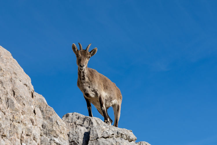 Low angle view of animal on rock against blue sky