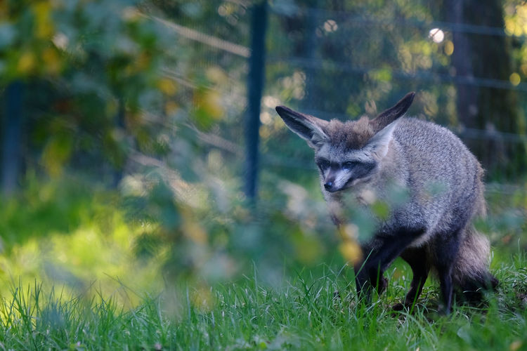 Opel Zoo Animal Themes Animal Wildlife Animals In The Wild Back Lit Bat Eared Fox Day Fox Grass Mammal Nature No People One Animal Outdoors Tree