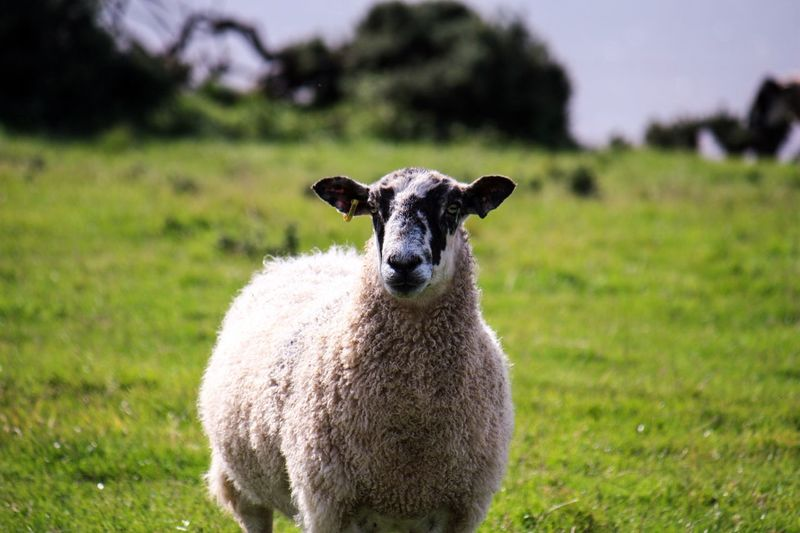 Grass Field Nature Sheep Looking At Camera Portrait One Animal Day No People Livestock