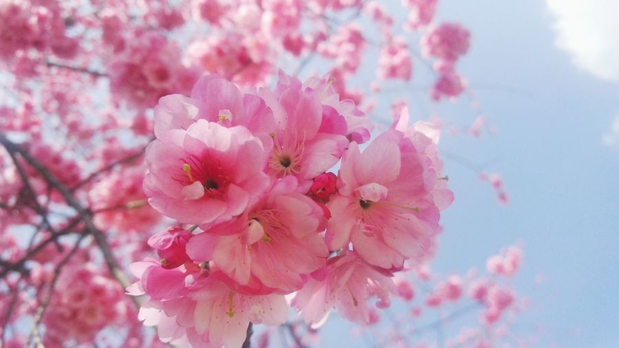 Flower Nature Pink Color Springtime Blossom Close-up No People Beauty In Nature Growth Flower Head Plant Branch Outdoors Day Freshness