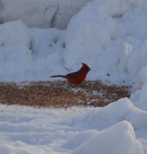 Photography In Back Yard Cardinal