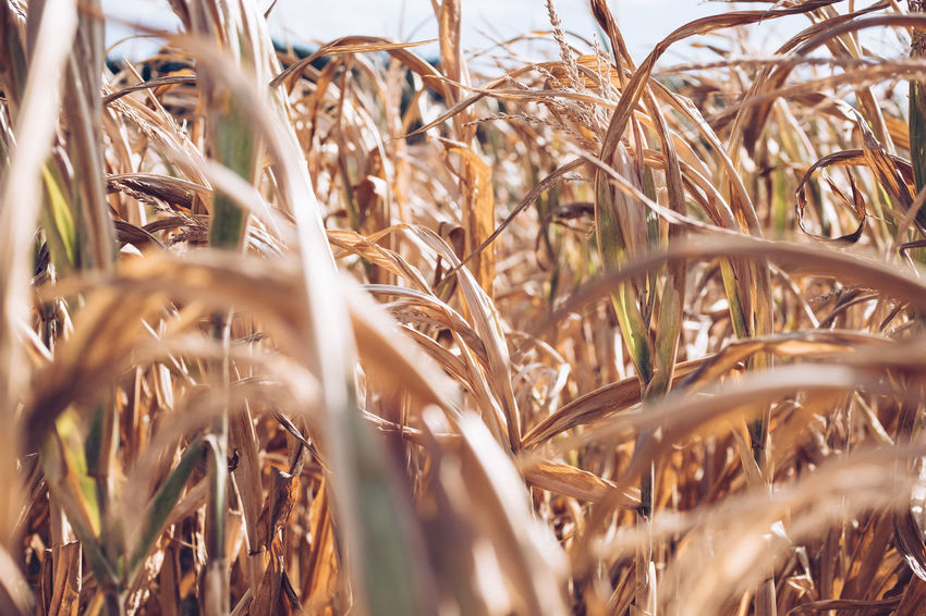 Selective Focus Land Field Growth Plant No People Crop  Rural Scene Agriculture Day Cereal Plant Close-up Beauty In Nature Nature Farm Landscape Tranquility Dry Brown Outdoors Stalk