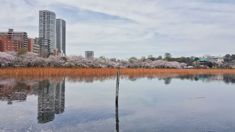 Reflection Water Outdoors Sky Built Structure Lake Cloud - Sky Architecture Standing Water Urban Skyline City No People Skyscraper Building Exterior Cityscape Day Nature Sakura Cherry Blossoms Shinobazu Pond Japan Tokyo Landscape The Architect - 2017 EyeEm Awards The Great Outdoors - 2017 EyeEm Awards