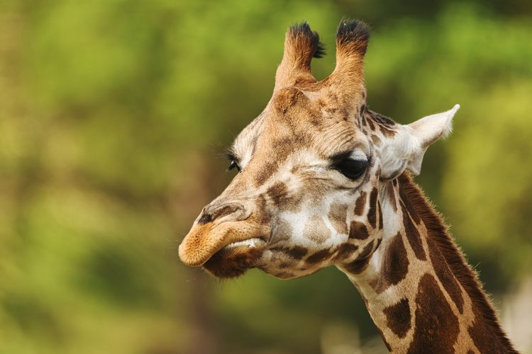 Close-up of a giraffe