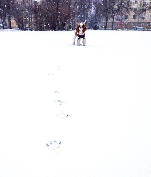 Charlie The Cav Cavalier King Charles Spaniel Cavlife Dog Winter Snow 🐶❄️