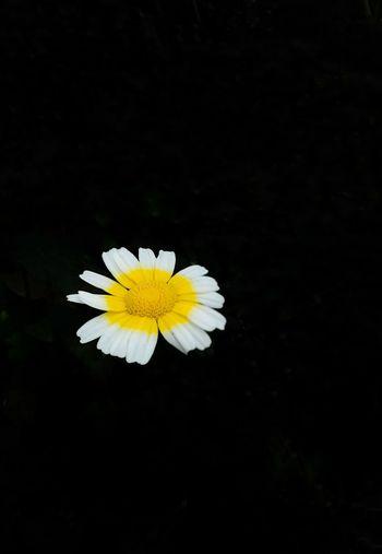flower in my garden Viet Nam Hoa Flower Head Black Background Flower Yellow Springtime Petal Leaf Pollen Black Color Zinnia
