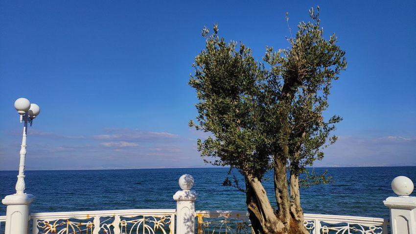Olive Olive Tree Yalova Yalovasahili Türkiye Turkey Tree Water Sea Beach Blue Clear Sky Summer Sky Horizon Over Water