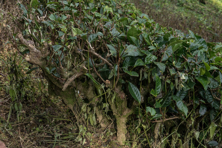 Tea Plants Close Up Nature Highlands Malaysia Outdoor Tea Tea Plant Tea Plantation  Tourist Destination
