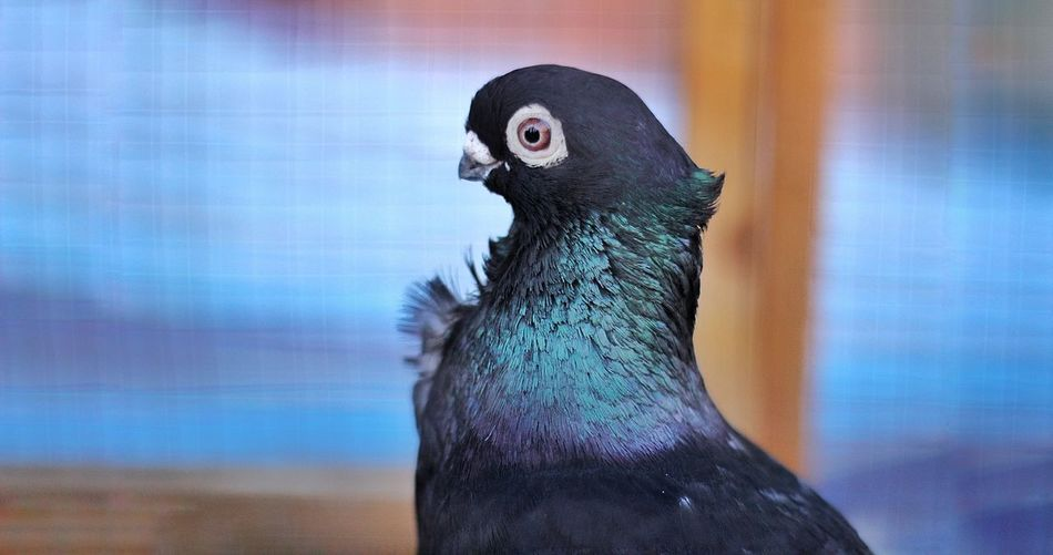 green grades 💙💚💜 Dove Bird Wide Eyes Animals Bird Blue One Animal No People Portrait Animal Themes Close-up