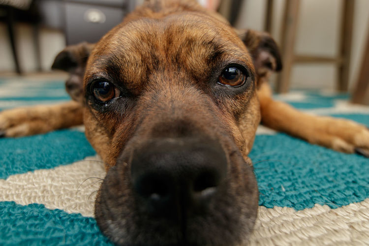 Arizona Animal Animal Body Part Animal Eye Animal Head  Animal Nose Animal Themes Canine Carpet - Decor Close-up Dog Domestic Domestic Animals Focus On Foreground Home Interior Indoors  Looking At Camera Mammal No People One Animal Pets Portrait Relaxation Vertebrate