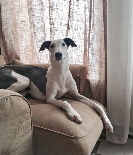 Pets Curtain Domestic Animals Dog Mammal Indoors  One Animal Looking At Camera Animal Themes Home Interior Sofa Day Portrait No People Sitting Close-up Greyhound GreyHound Love