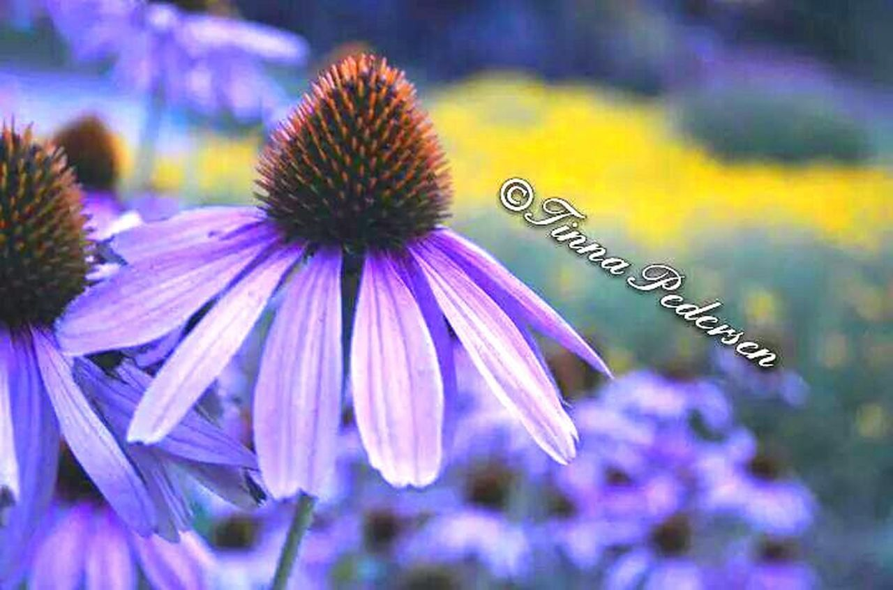 flower, purple, no people, close-up, fragility, day, nature, flower head, freshness, outdoors, beauty in nature, eastern purple coneflower