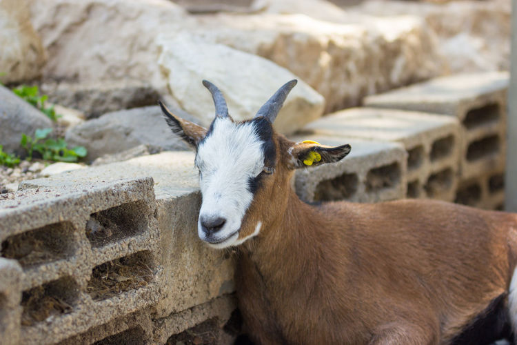 Close-up of goat resting by bricks