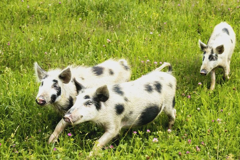 Three pigs in a meadow Funny Cute Mammal Pig Animal Farm Three Pigs Nature Outdoors Georgia Svaneti Georgia Svaneti Meadow Field High Angle View Animal Themes Grass Piglet Livestock Grass Area Young Animal