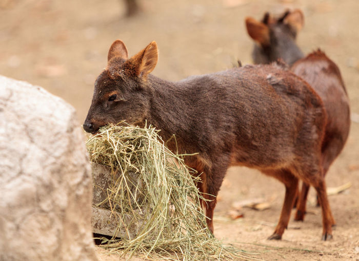 Southern pudu scientifically named Pudu pudu is found in the rain forest of Chile and Argentina Animal Themes Animal Wildlife Animals In The Wild Day Mammal Mammals Nature No People Outdoors Pudu Pudu Pudu Southern Pudu