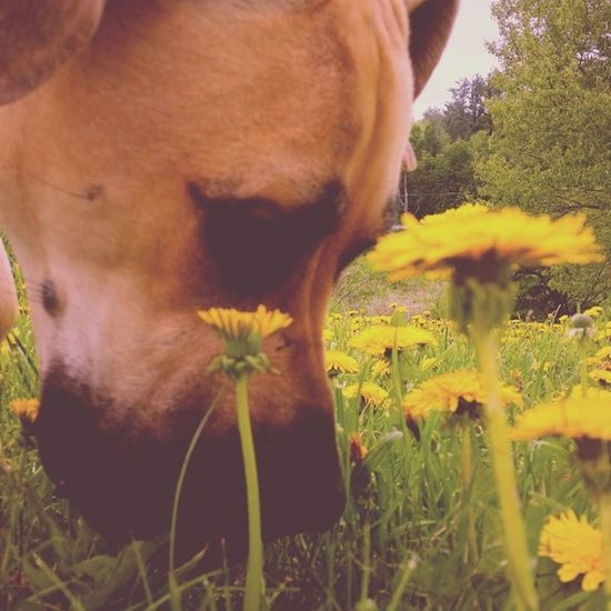 Take time to smell the daisies. Er, dandelions. Outforawalk Bigdogproblems Mastidane Daniff instapets instadog petsofinstagram petstagram vscocam vsco vscogood vscopictures vscopets vt vtphoto vermont vermontshots lazyafternoon