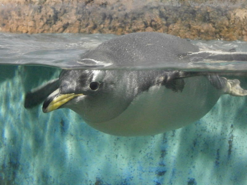 A pinguin is swimming close to the window in Frankfurt zoo. Animal Head  Animal Photography Animal Wildlife Animals Beauty In Nature Behind The Glass Close-up Frankfurt Germany MyCity❤️ Nature Pinguin Showcase June Underwater Photography Water Zoo Zoology Pinguine