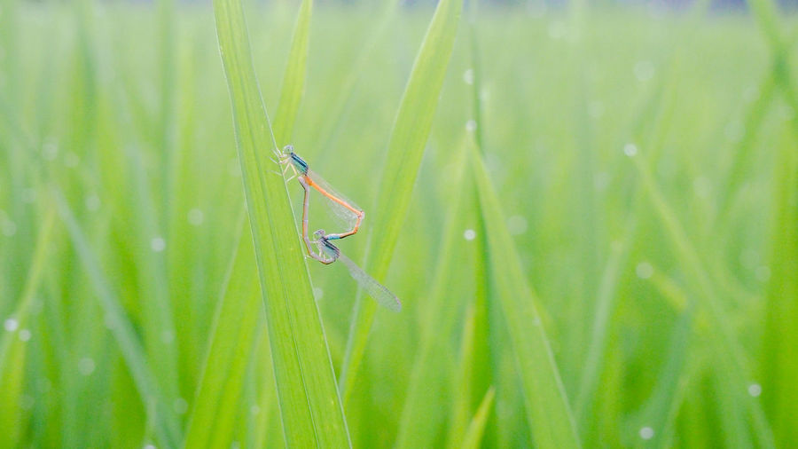 Beautiful lover on the fresh field Breed Couple Dragonfly Lover Mating Rice Paddy Animal Animal Wildlife Beauty In Nature Biology Close-up Colorful Grass Green Color Insect Landscape Leaf Macro Nature Organic Outdoors Plant Season  Summer Tropical Climate A New Beginning