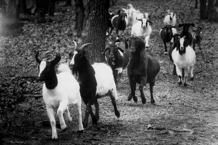 Goats Black And