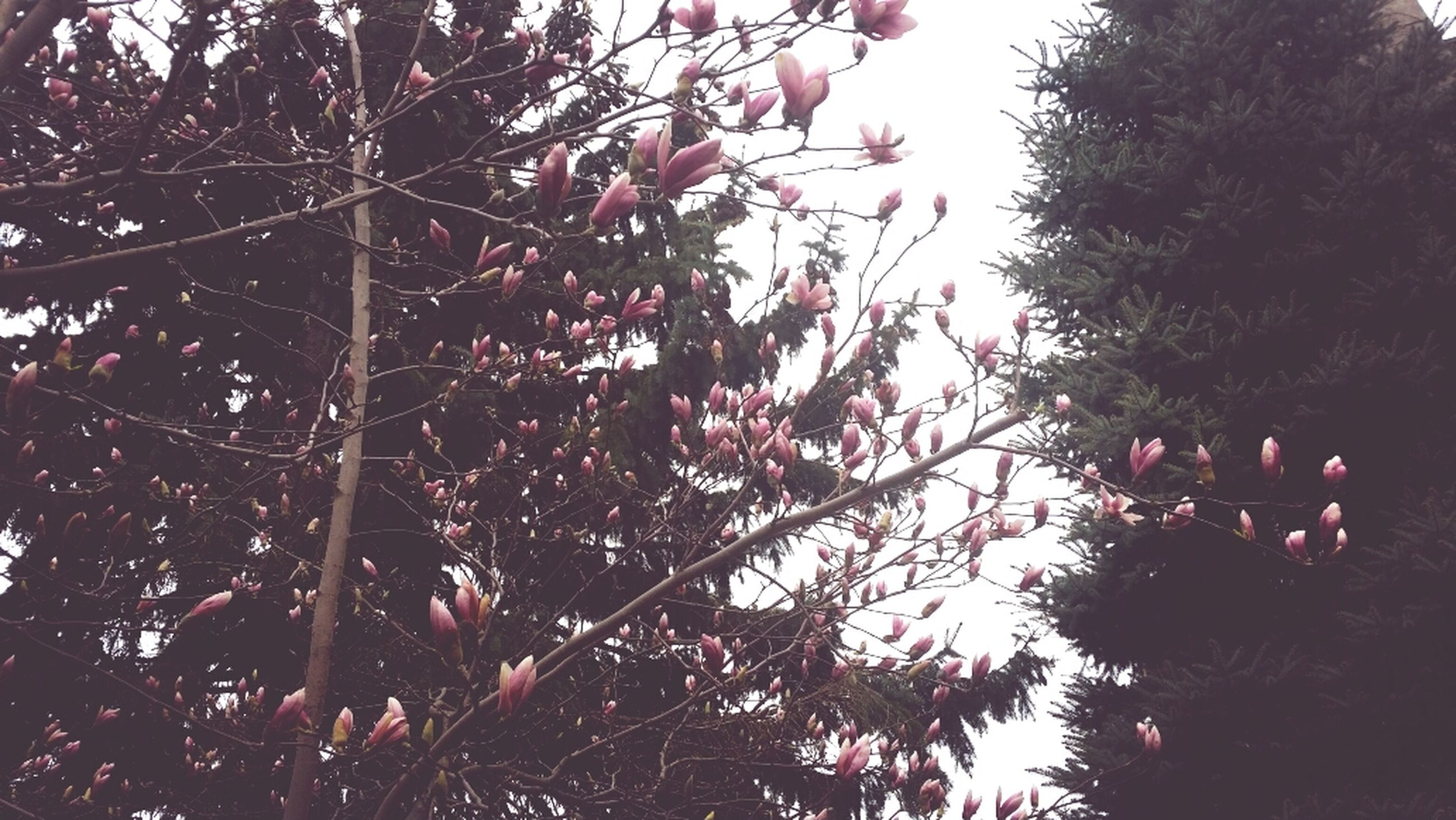 tree, low angle view, branch, growth, nature, sky, clear sky, beauty in nature, flower, leaf, outdoors, day, pink color, cherry tree, no people, hanging, tranquility, red, sunlight, freshness