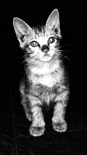 Kitty Nocturnal Hewan Kucing Ucing Penglihatan Malam