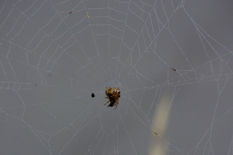 Full Length Web Animal Leg Spider Web Insect Spider Intricacy Survival Weaving Close-up Arachnid Trapped Prey