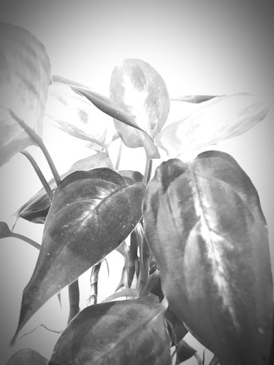 Plant Flowers Leaves Black White Black And White Blackandwhite Nature Photography Nature Iphonephotography White Background Iphonesia IPhoneography Black & White Blackandwhite Photography Black&white Relaxing Enjoying Life Taking Photos Flower Porn Nature_collection Nature On Your Doorstep IPhoneArtism Iphoneonly