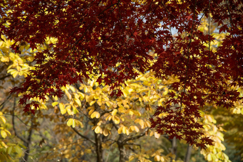 autumn landscape at Janggye Tourism Place in Okcheon, Chungbuk, South Korea Autumn Autumn Leaves, Autumn Leaves Ginkgo Leaves Janggye Okcheon Autumn Autumn Collection 2017 Beauty In Nature Blossom Branch Day Flower Freshness Ginkgo Tree Growth Maple Leaves Maple Tree Nature No People Outdoors Tree